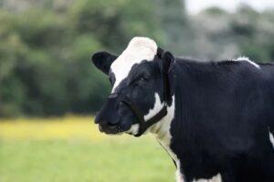 Munskydd för kossa reducerar metangas och räddar klimatet.